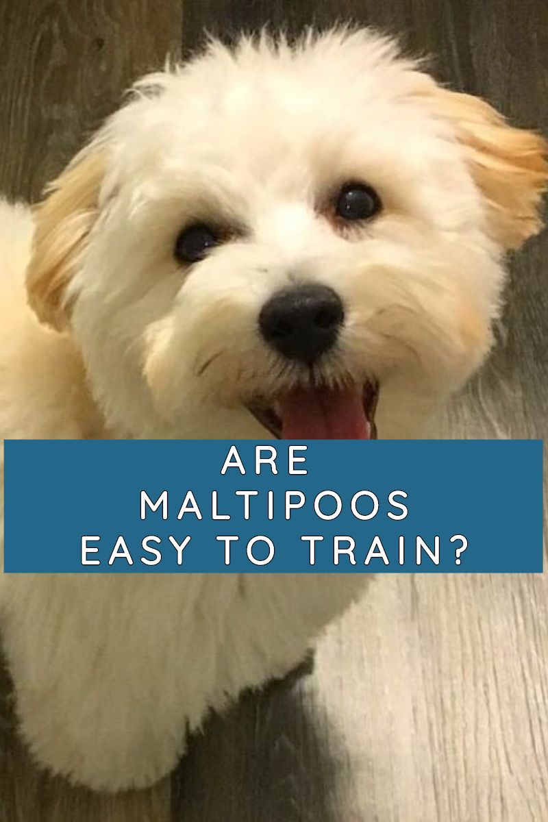 Are Maltipoos Easy To Train Labradoodle Home