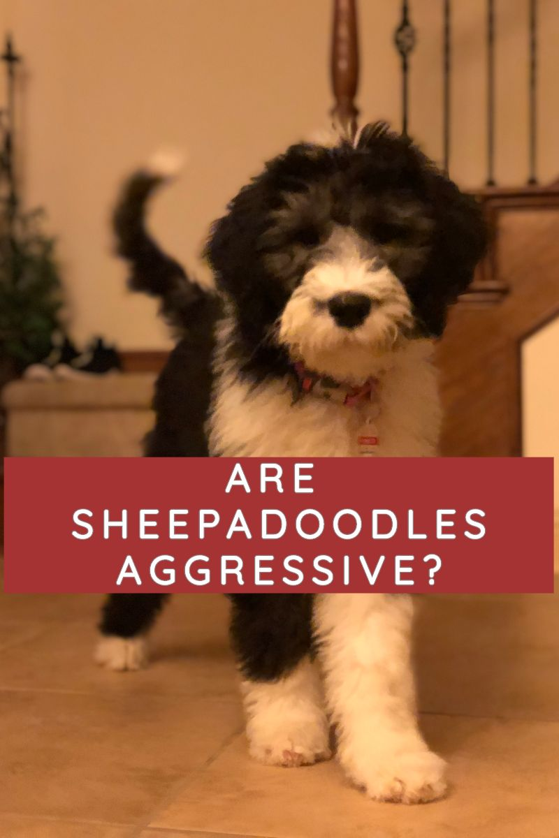Are Sheepadoodles Aggressive The Truth About Their Temperament Labradoodle Home