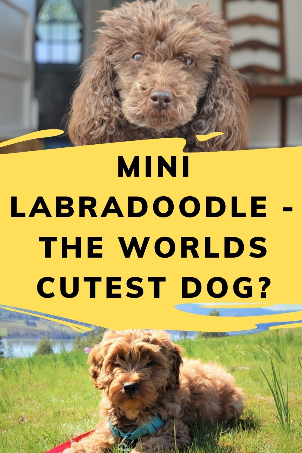 Mini Labradoodle Complete Guide To The Cutest Dog